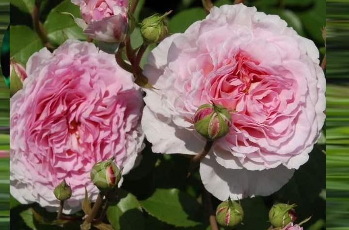 Роза еще не распустилась, а от нее уже исходит манящий сильный запах