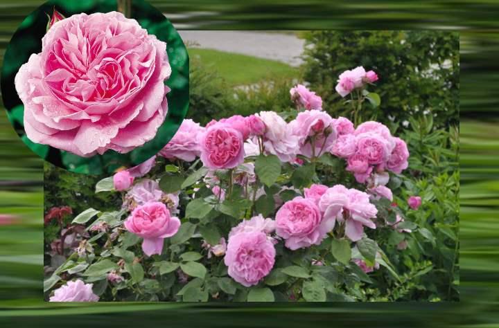 Неоднократное цветение