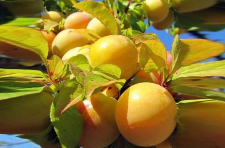 Слива является одним из самых популярных плодовых деревьев