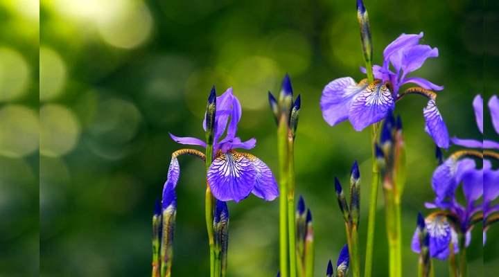 Фиолетовые петушки