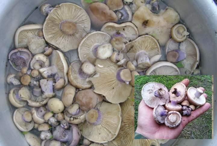 Гриб синяя ножка: фото, описание, как готовить