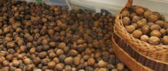 Когда орехи начинают дозревать, животные и птицы уже тут как тут, они открывают настоящую охоту за этим плодом.