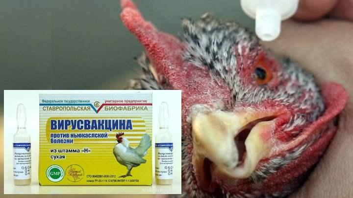 Лечить больную особь в птицеферме нерационально