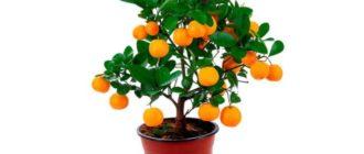 Плодоношение цитрусовых