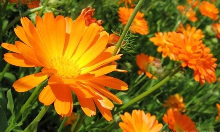 универсальное растение, цветущее с июня до заморозков