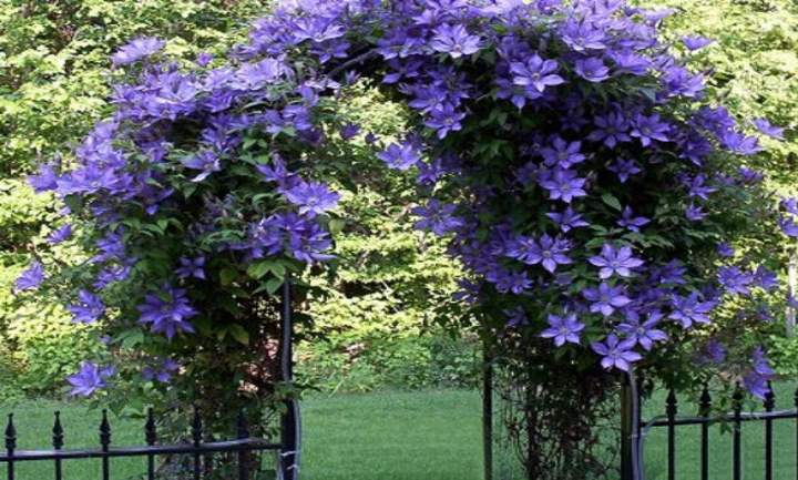Голубыми цветы становятся только если еще с весны начать поливать землю раствором солей железа. Если этого не сделать, растение останется с розовыми цветами, но от этого оно не станет менее красивым.