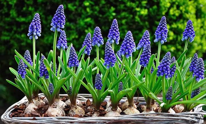 маленькое растение с бледно-синими цветочками