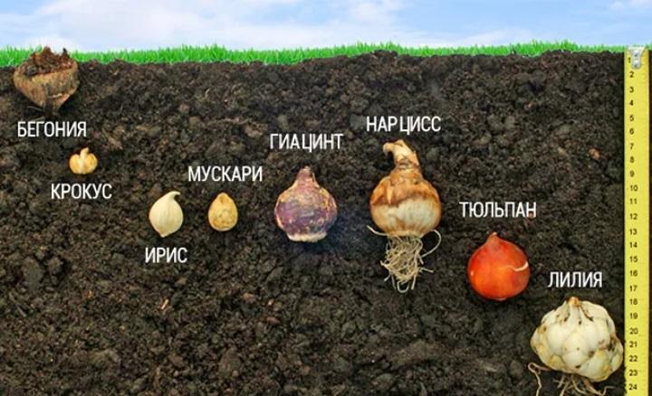 Правильно посадить луковицы