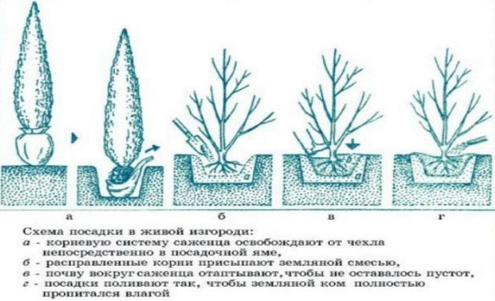 следует отказаться от пересадки хвойных растений в активный период роста
