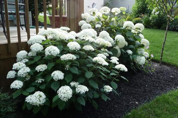 Белые цветы гортензии