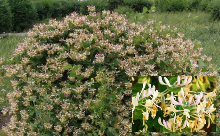 Жимолость - кустарник с маленькими овальными листиками достигает 2 метров в высоту