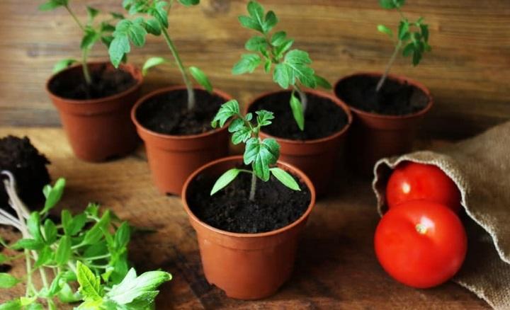 Как правильно выбрать сорт томатов