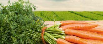Сочная, яркая и хрустящая морковка