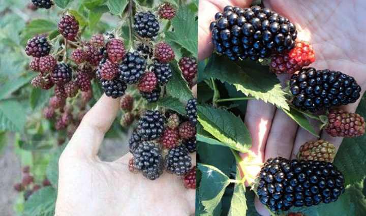 Неравномерное созревание ягод можно отнести к недостаткам