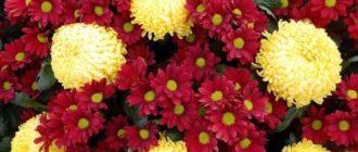 Соцветия у хризантем похоже на цветочную корзинку