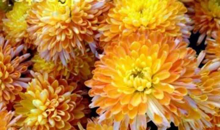 Культура этого рода вырастают с очень крупными махровыми цветами