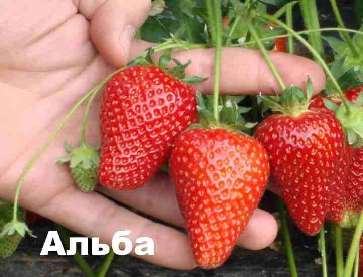 Альба подходит как для личного выращивания на своем участке, так и для выращивания для торговли