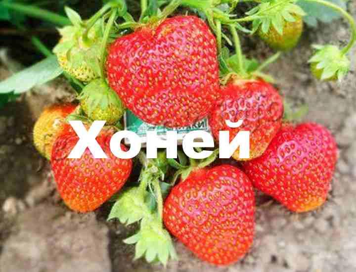 Можно выращивать в теплице, открытом грунте, под пленкой