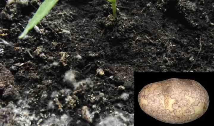 Развитие грибкового заболевания начинается непосредственно в самой почве