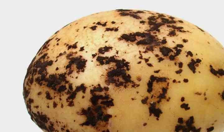 грибковое заболевание, поражающее в первую очередь кожуру клубней картофеля