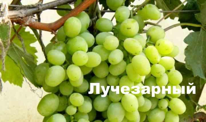 Этот гибридный сорт винограда получен путем селекции сортов Талисман и Кишмиш Лучистый