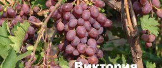 О сорте винограда Виктория