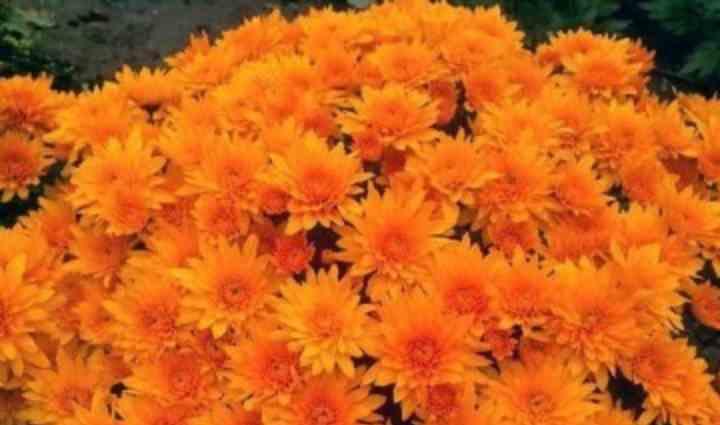 сорт махровых помповидных цветов