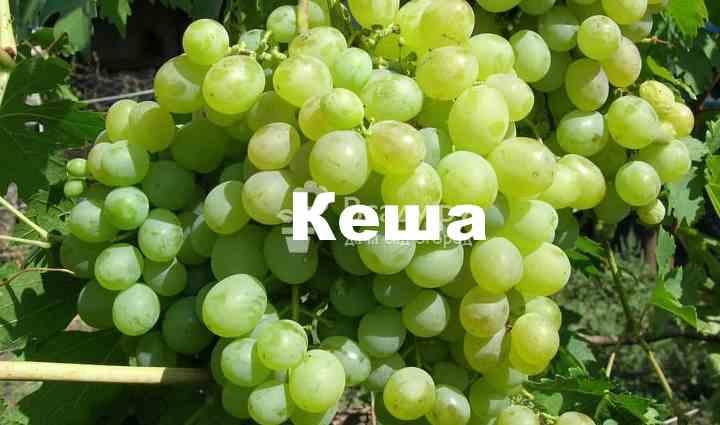 как правильно выбрать саженцы для будущего виноградника