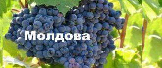 Вид винограда
