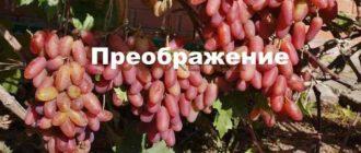Гроздья винограда
