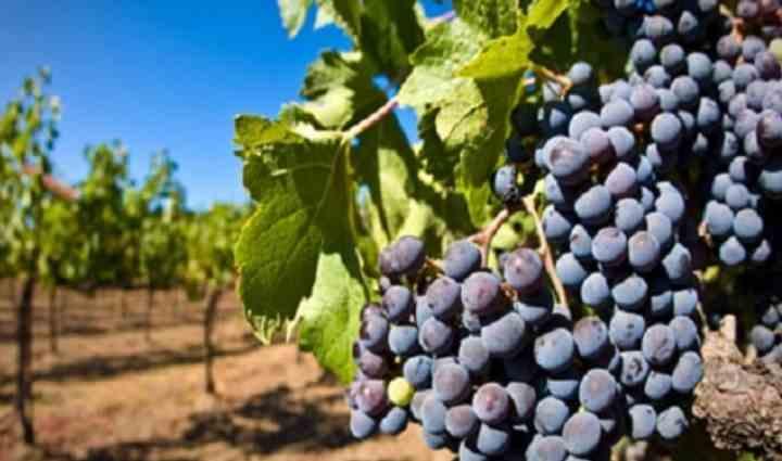 Виноград Молдова является столовым сортом с поздним сроком созревания