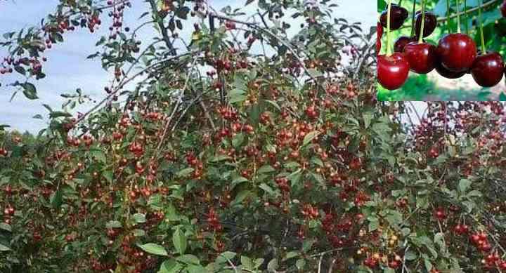 Дерево плодоносит