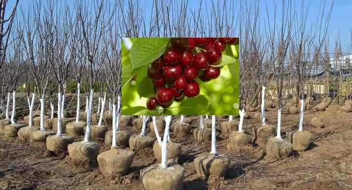 Саженец вишни Молодежная