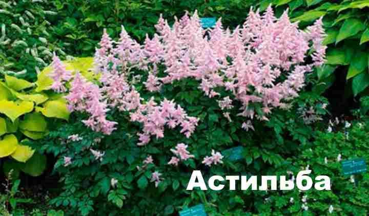 Розового цвета куст