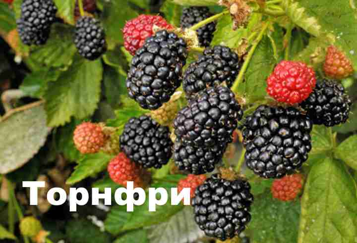 Сорт «Торнфри» имеет крупные, черные ягоды с глянцевой поверхностью