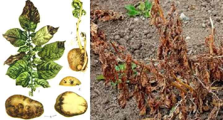 Рисунок болезни картофеля