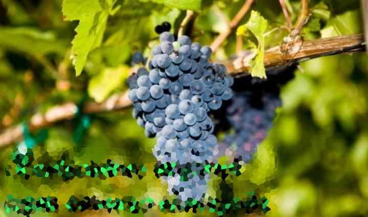 Выбор и подготовка посадочного материала напрямую влияют на урожайность винограда