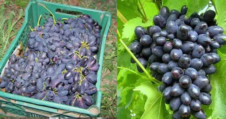 Характеристика винограда сорта Кодрянка