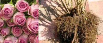Как пересадить розовую розу