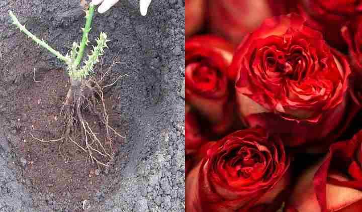 Как пересадить розу осенью