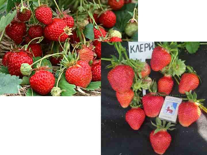 Высокий урожай. С каждого кустика можно получить до 300 г плодов.