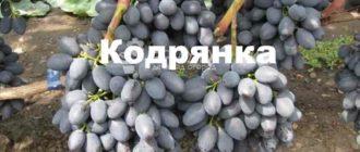 Молдавский виноград Кодрянка знаменит простотой в разведении и получении обильного урожая.