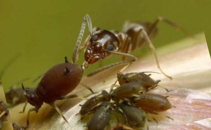 Муравьи питаются сладкой ратью, которую выделяет тля, получая ее из соков растений. И они делают все возможное, чтобы получить как можно больше сладости, распространяя тлю по растениям и оберегая ее от врагов. А тля очень быстро уничтожает урожай, поэтому с муравьями нужно бороться