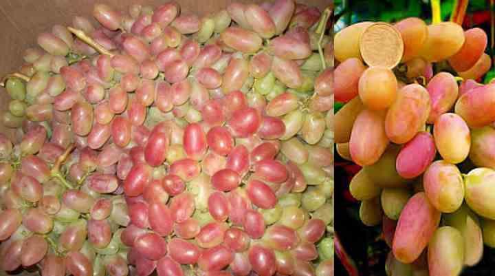 виноград был получен путем скрещивания таких сортов, как Кишмиш лучистый и Талисман