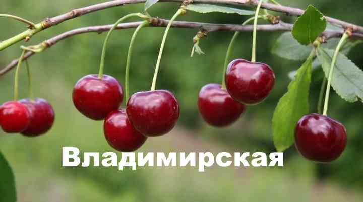 90% урожая вишни находится на более молодых ветвях