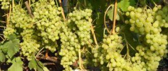 Часть винограда алешенькин над землей может переносить зимний мороз