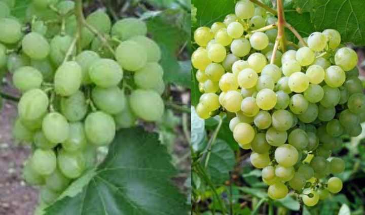 если виноградник на зиму хорошо укрыт
