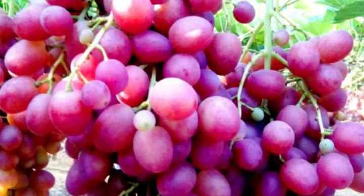 Правильно формируя куст, плодоношение может начаться уже через три года.