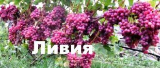 Один из любимых сортов садоводов – виноград Ливия