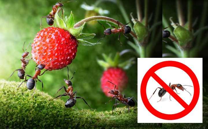 Выбор средства в борьбе с муравьями